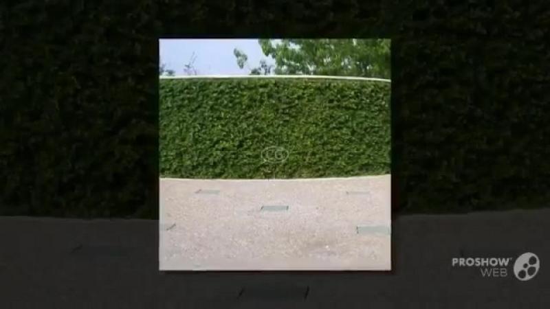 Ficus pumila - garden plants