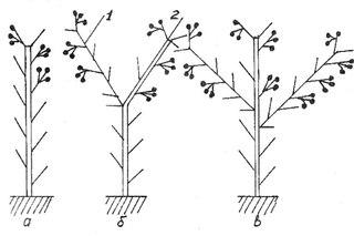 Схема формирования куста томата: а - одностебельное растение; б - двухстебельное; в - трёхстебелъное; 1...