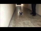 Чихуа хуа Ник в инвалидной коляске для собaк Animal Mobile