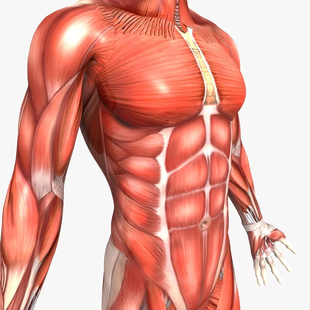 biggest muscles in the human body - HD1264×1264