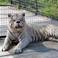 Кенни умственно отсталый тигр фото