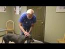 [Darvin Studio] Измученный Доберман.Ужасное обращение с собакой.Ветеринарное ранчо