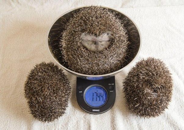 У Британії їжака-товстуна посадили на дієту через нездатність згорнутися в клубок - фото 3