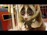 «Видео приколы с животными. Самый милый зверек в мире -- лори. Просто прелесть!»