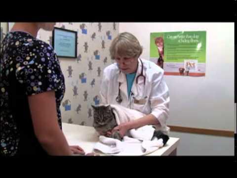 Комфорт кошки во время взятия крови из тазовой конечности Cat comfort during a hind leg blood draw