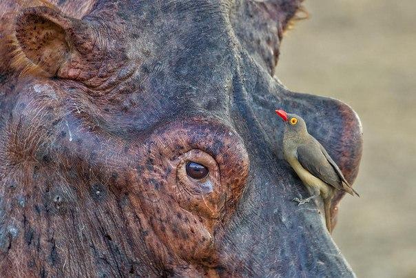 Marc MOL #hippopotamus