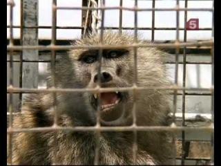Бабуины и человек -- жизнь по соседству / Baboons. Too Close For Comfort