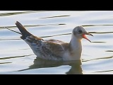 Чайка на море. Футажи для видеомонтажа. Плывущая чайка. Чайка в воде. Футаж птицы