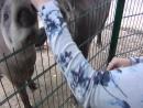Зоопарк Лимпопо в Нижнем Новгороде. Животное - Топир.