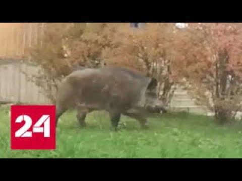 По улицам подмосковного поселка бродит кабан - Россия 24