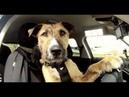 Работа в такси - Возить крупных животных или нет?