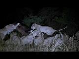 Бегемот против прайда львов