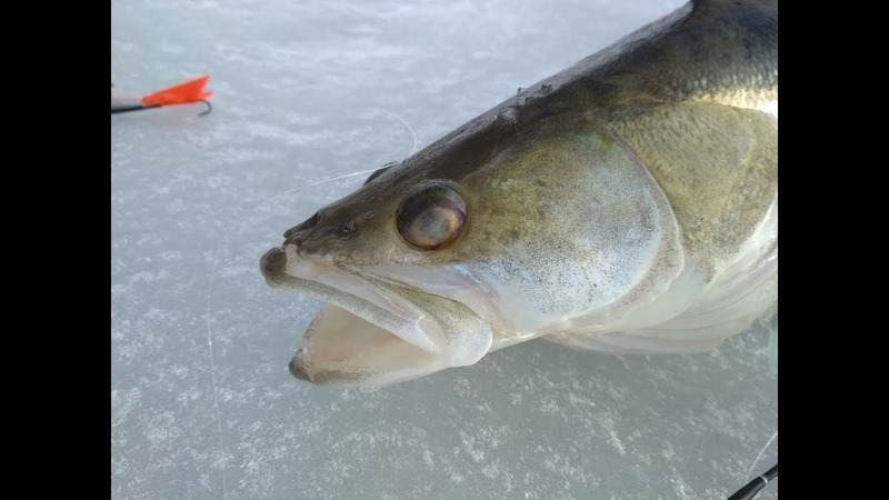 ГОРБАЧИ КАБАНЫ ПО ПЕРВОЛЕДЬЮ ФАРТОВЫЙ БАЛАНСИР Рыбалка на хищника