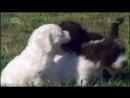 «Симпатичные щенки: Йоркширский терьер, Лаготто-романьоло, Немецкая овчарка и Лабрадор-ретривер» (Познавательный, 2014)