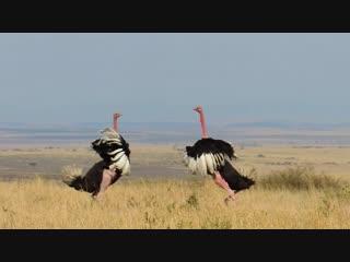 кения 2018. битва самцов страусов