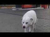 Одинокая собака по кличке Белый.