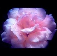 Предлагаю подборку удивительно прекрасных роз от фото- художника под ником Callu.