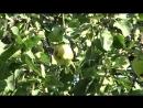 Яблоневый сад в Санкт-Петербурге