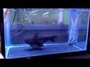 Gulper Catfish Swallows Fish The Size of Its Body 994122