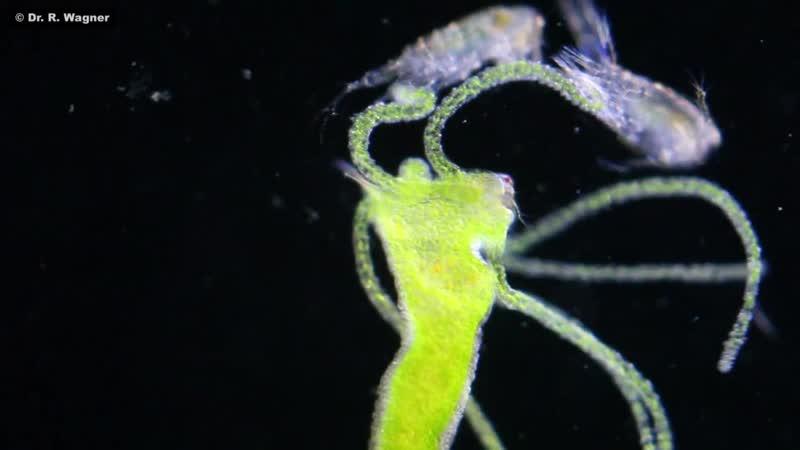 Зеленая гидра (Hydra viridis), в теле которой живут симбионты — зеленые водоросли, поедает ветвистоусых рачков.