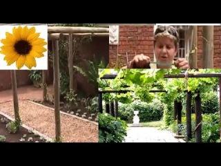 Как сделать перголу с виноградом? Секреты садовода. Дача ТВ