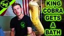 King Cobra Gets Bath Time! ☠️
