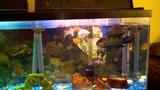 Jack Dempsey Cichlid eating goldfish...