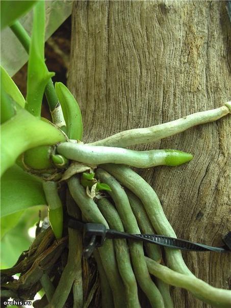 корни орхидеи гниют, сохнут. что делать как отличить живые корни орхидеи от мертвых ошибочно различать корни по цвету! мол, живые корни обязательно белые, а мертвые темные!это не так, достаточно