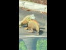Starbucks Parking Lot Becomes Iguanas' Battleground