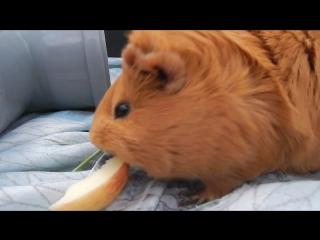 Морская свинка ест яблоко