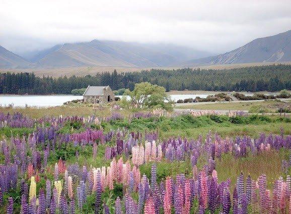 Цветущие люпины у озера Текапо, остров Южный, Новая Зеландия