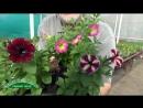 Вегетативные мелкоцветковые петунии