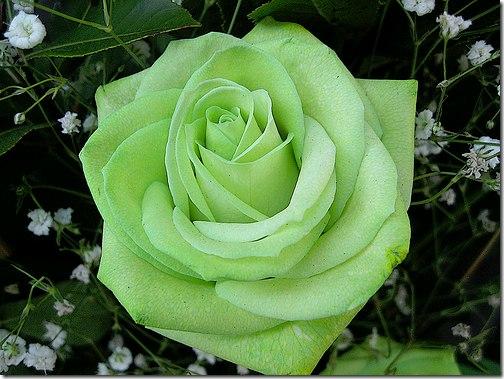 [club4992|Зеленые и желтые розы]