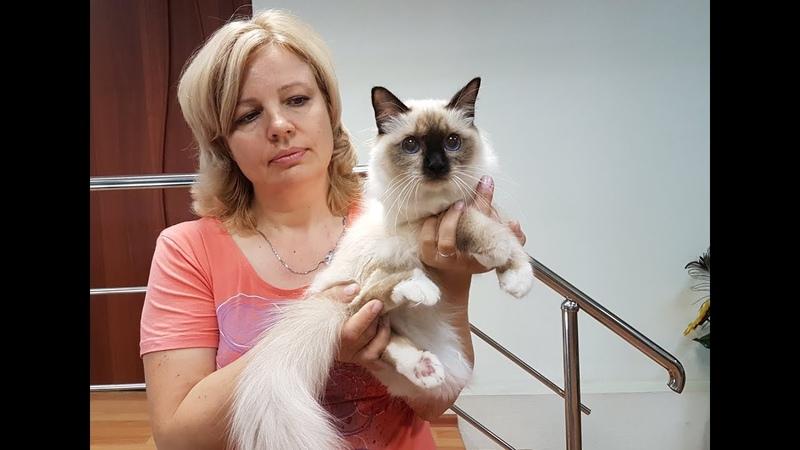 Фильм о нашем питомнике бирманских кошек