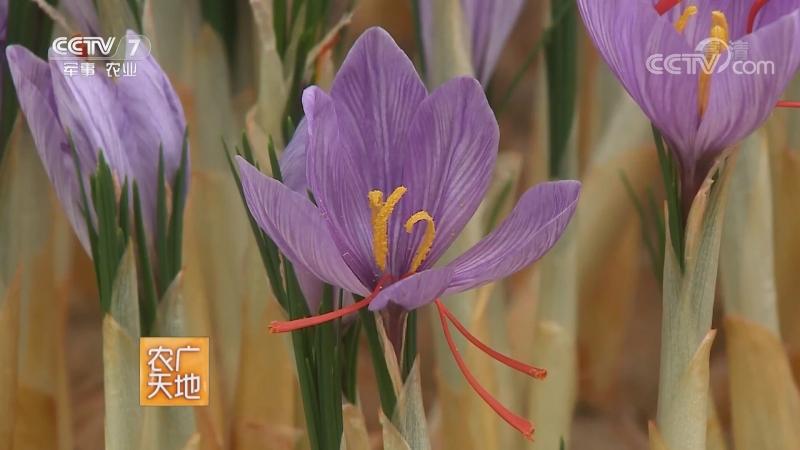 Шафран, или Крокус ''АньХунХуа Шу'' (лат. Crocus). Шафран посевной (лат. Crocus sativus) в виде приправы ''АньХунХуа'', высушенн