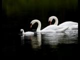 Олег Хромов- Белые птицы