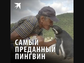 Самый преданный пингвин