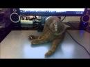 Приколы с котами, смешные и забавные (Funny Cats). Котик-британец сломался, часть 1.