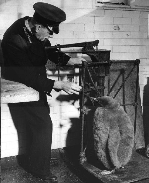 Смотритель зоопарка взвешивает Принца, птенца императорского пингвина, Лондон, 1...