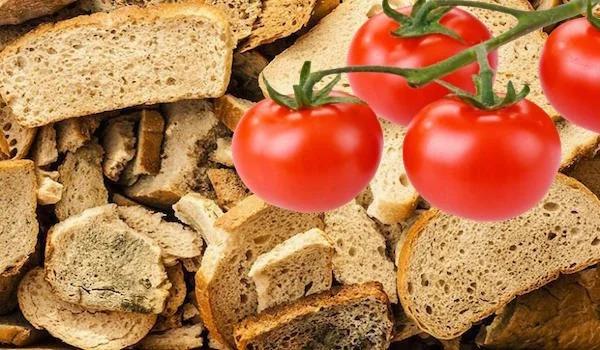 Оригинальный способ выращивания томатов на сухарях Мой загородный участок находится в Ленинградской области, на месте бывшего болота. Почва тут не отличается особым плодородием и требует