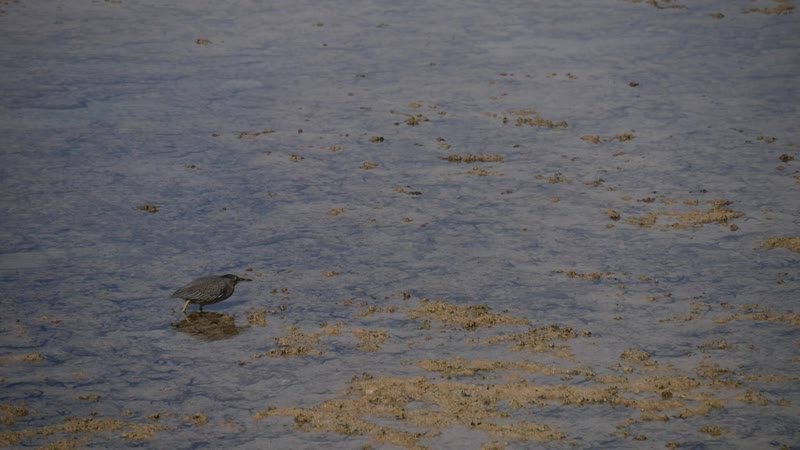 Крокозяблик охотится на мальков рыбошат