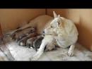 Тася кормит щенков....