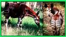 Окапи или Окапи Джонстона Редкое Необычное Животное Парнокопытное Животное Семейства Жирафовых