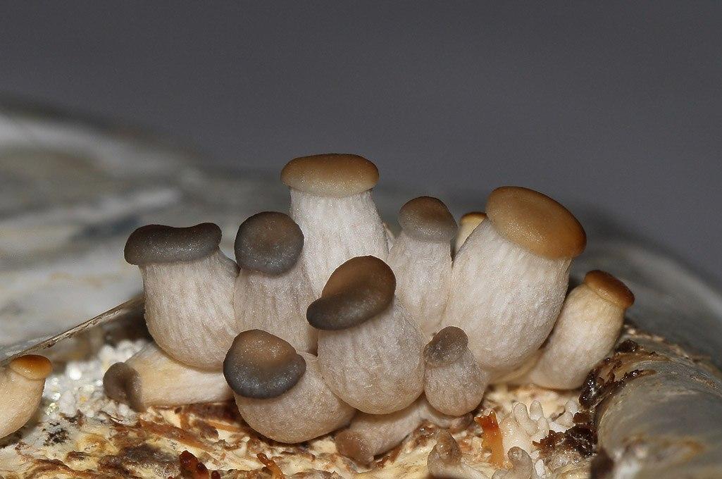Как в домашних условия вырастить грибы шампиньоны в домашних условиях