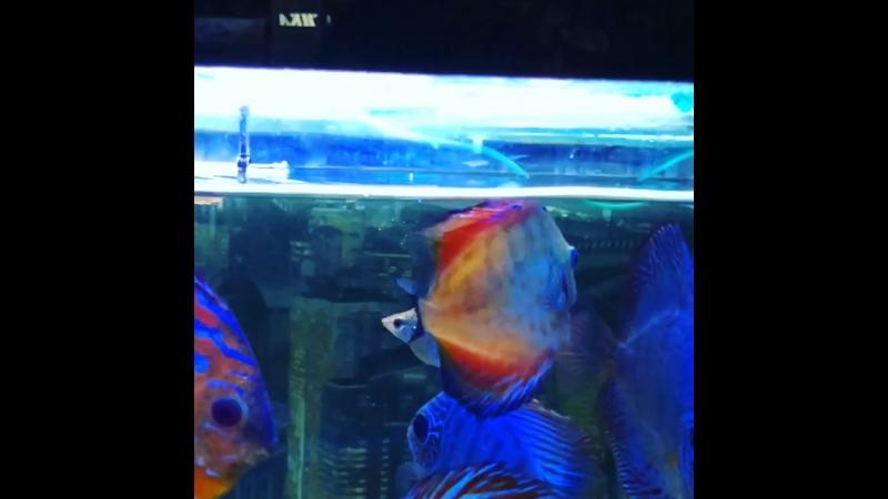 Как охотится моя любимая хищная рыбка АРАВАНА 😁⚡️