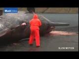 GRAPHIC CONTENT Moment dead Sperm Whale EXPLODES пиздец кит взорвался