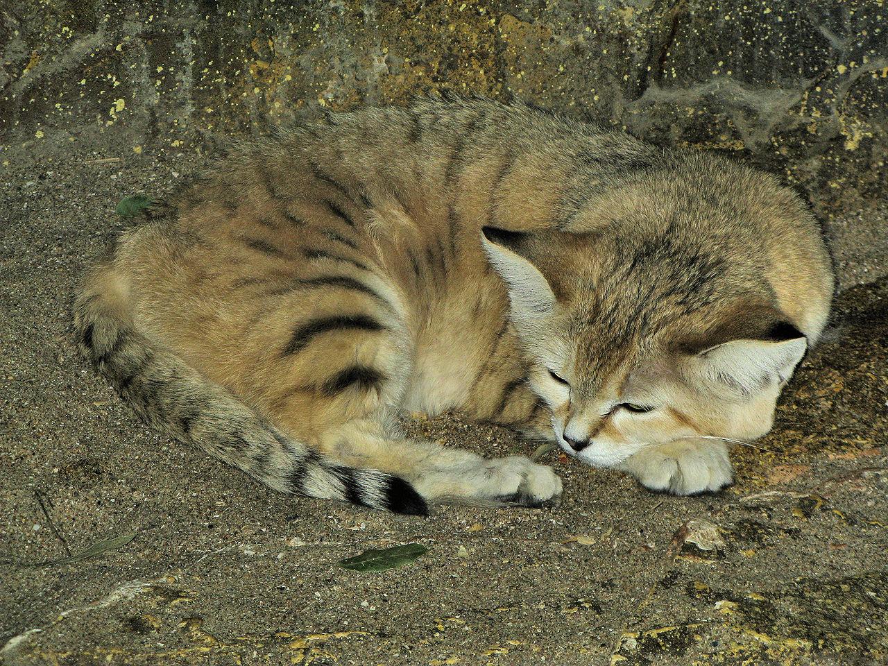 Барханный кот. Внешний вид. Описание.