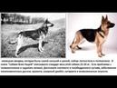Человек враг или друг природы? Селекция собак. УЖАС.