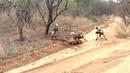DEVASTATING Scene as Wild Dogs kill impala