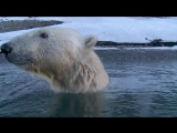 BBC Белый медведь Шпион в стае 2010 HD
